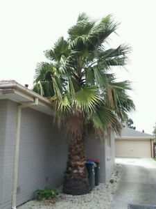 Palm Tree for Sale Wantirna South Knox Area Preview