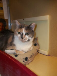 "Adult Female Cat - Domestic Short Hair-Dilute Calico: ""Gabby"""
