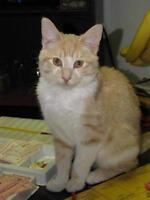 "Young Male Cat - Tabby - Orange-Tuxedo: ""Robichaud"""