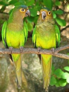 Brown throated conures - WTB