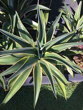 Agave Desmettiana variegata Mountain Creek Maroochydore Area Preview