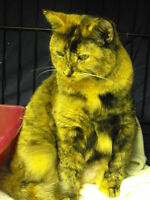 "Adult Female Cat - Tortoiseshell-Domestic Short Hair: ""Mimi"""
