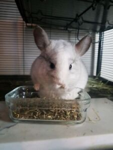 Two lovely chinchillas (pick up only)