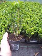 Box Plants