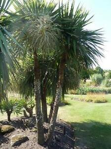 Cordyline australis, Cornish palm 1 Lt