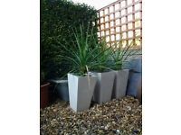 Three Cordylines in Polystone Pots