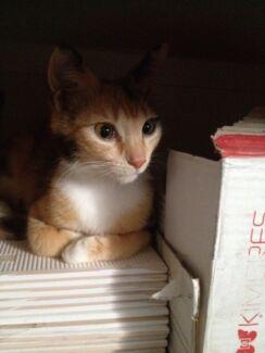 Cat 'Aspen' -  Hunter Animal Rescue Aberglasslyn Maitland Area Preview