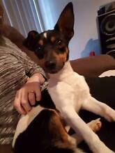 Fox Terrier X Chihuahua 'Spotty' - Hunter Animal Rescue Raymond Terrace Port Stephens Area Preview