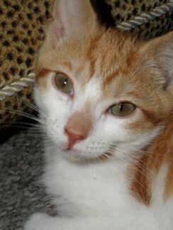 Kitten 'Rose' - Hunter Animal Rescue Raymond Terrace Port Stephens Area Preview