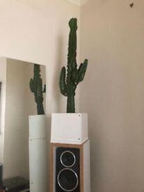 150cm tall cactus