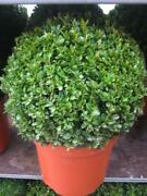 Buxus Plants
