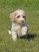 *** READY TO GO NOW*** MINI F1B GOLDENDOODLES  ***1 FEMALE LEFT