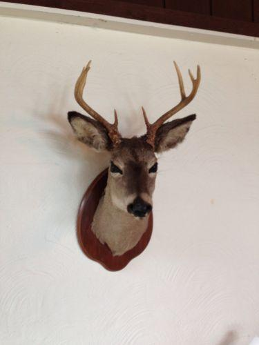 Shoulder Mount Taxidermy Ebay