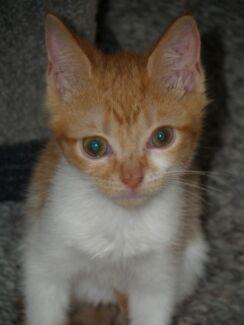 Kitten 'Hope' - Hunter Animal Rescue Raymond Terrace Port Stephens Area Preview