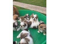 stunning jackshtzu puppies