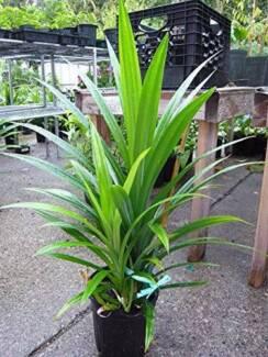 Pandan herb plants