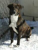 "Young Male Dog - Boxer-Labrador Retriever: ""GRIFFIN-Lost:-("""