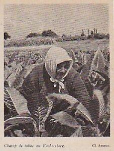 1948 -- TRAVAIL AU CHAMP DE TABAC AU KOCHERSBERG 3A116 - France - 1948 -- TRAVAIL AU CHAMP DE TABAC AU KOCHERSBERG 3A116 il ne s'agit pas d'une carte postale , mais d'un beau document paru dans la rare visages de la france, en 1948 le document GARANTI D'EPOQUE est en tres bon état et présenté sur carton d'en - France