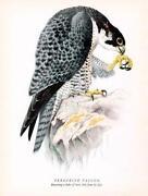 Peregrine Falcon Print