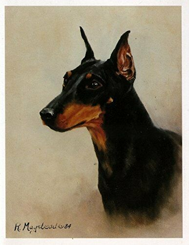 Manchester Terrier Head Study Notecard 6 Note Cards Envelopes By Ruth Maystead