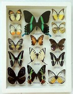 framed mounted butterflies