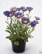 Hardy Perennial Plug Plants