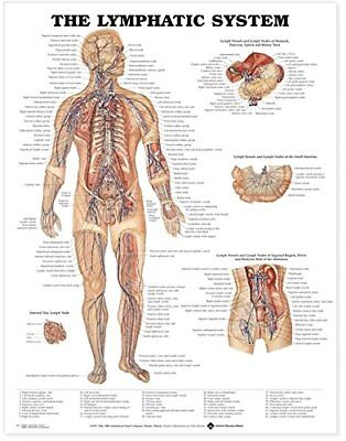 The Lymphatic System Immunology  Anatomy Poster Anatomical Chart Company