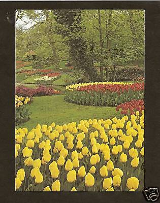 TULIPS BLOOMING IN THE NETHERLANDS (The Netherlands Tulips)