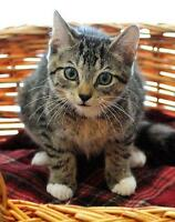 """Baby Male Cat - Tabby - Brown: """"Paws"""" Ottawa Ottawa / Gatineau Area Preview"""