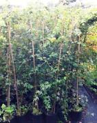 Japanese Maple Plant