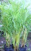 Golden Cane Palms