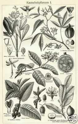 Kautschukpflanzen Kautschuk Gummi STICHE von 1905