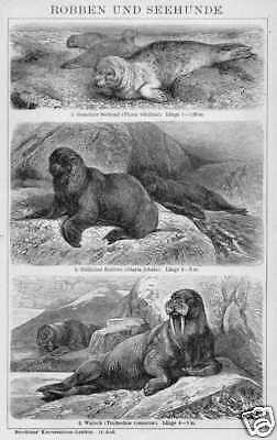 Seehund Seelöwe Walross Robben HOLZSTICH von 1898