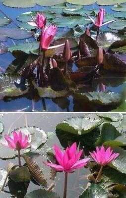 2 x Seerosen Red Gerald Wasserpflanzen für den Teich Teichpflanzen Teichpflanze