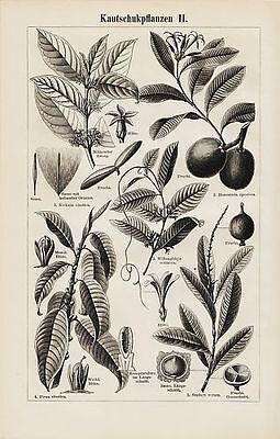Kautschukpflanzen I+II  Kautschuk Ficus elastica  Gummi Holzstich 1906