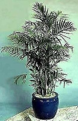 Bergpalme / mediterrane Pflanze große exotische Zimmerpalme für die Wohnung Deko
