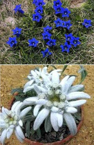 Steingarten-Stauden-Mix blühende Pflanzen winterhart Edelweiß + Enzian Blumen