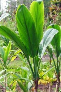 HAWAIIAN-GREEN-TI-LEAF-PLANT-20-LOGS-GROW-HAWAII