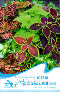 1-Bag-30-seed-Common-Garden-Coleus-Splendid-Flower-F007