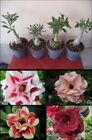 Adenium Desert Rose Perennial Flower & Plant Seeds