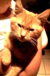Kitten 'Pippin' - Hunter Animal Rescue Booragul Lake Macquarie Area Preview