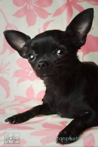 WANTED Chihuahua Puppy MALE