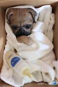 Pug Doll