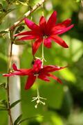 Passiflora Seeds