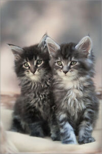 Looking for a long haired kitten.