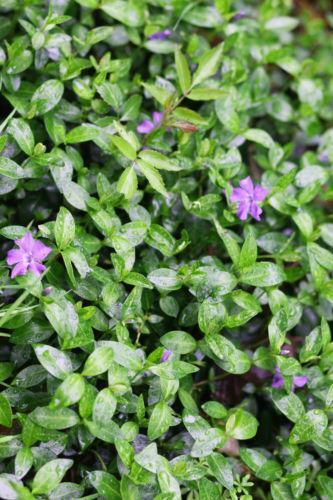 Periwinkle Plant Ebay