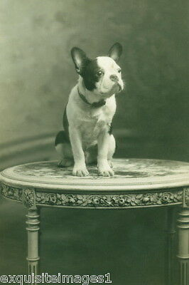 1920 Photo~Cute French Bulldog Puppy Dog Sitting on Table~NEW Large Note Cards