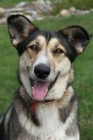 "Adult Female Dog - Siberian Husky: ""Cheyenne"""