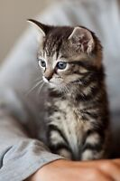 A marble taby kitten only 7 weeks