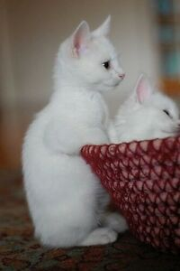 Solid white kittens